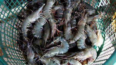 Foto de Saiba por que é uma boa ideia parar de comer camarão